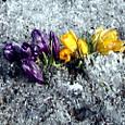 霜柱の中に咲くクロッカス