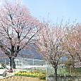 07年の桜